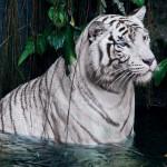 Tigre du Zoo d'Amnéville