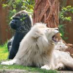 Lion du Zoo d'Amnéville