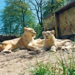 Couple de fauves du Zoo d'Amnéville