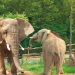 Elephants du Zoo d'Amnéville