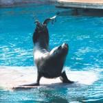 Lion de mer du Zoo d'Amnéville
