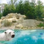 Ours polaire du Zoo d'Amnéville