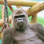 Gorille du Zoo d'Amnéville